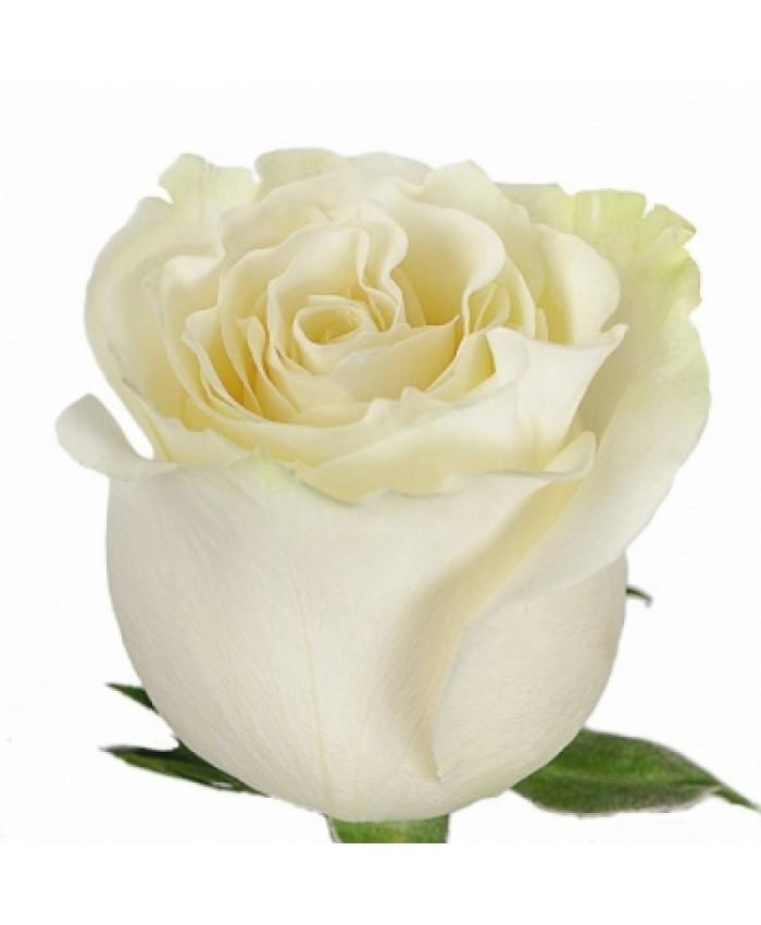 Роза белая (Эквадор)